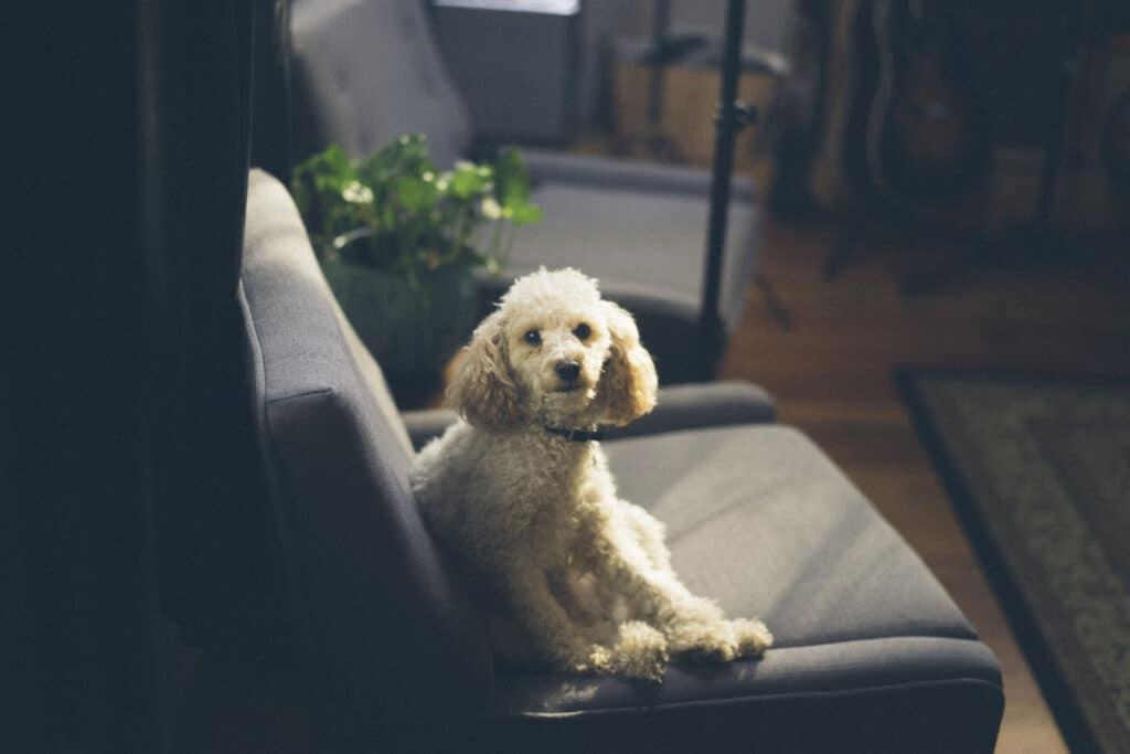 Cachorro poodle de pelagem branca sentado em uma poltrona preta, em uma sala de estar com uma planta ao lado. Imagem ilustrativa para o texto como eliminar carrapatos do ambiente caseiro.