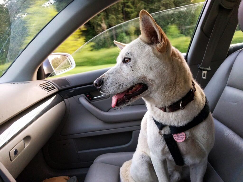 Cachorro de pelagem branca, com coleira preta sentando no banco de carona de um carro, em que o interior prevalece a cor cinza. Imagem ilustrativa para o texto lava rápido Centro Patrocínio.
