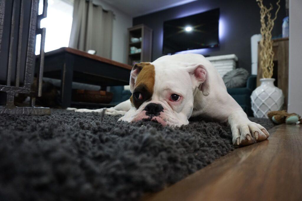 Um cachorro da raça bulldog, de pelagem branca com manchas pretas e marrons deitado em um tapete preto felpudo. Ao fundo temos uma sala de estar. É possível ver um sofá azul atrás do cachorro, uma tv na parede acima e uma mesa de centro preta. Imagem ilustrativa para o texto limpar sofá Bosque Rio Branco.