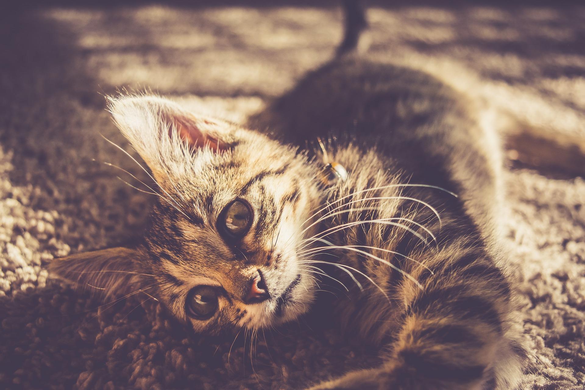 Foto de um gatinho deitado em um tapete. Imagem ilustrativa para o texto manter seus carpetes limpos.